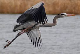 A Great Blue Heron takes flight at Montezuma Wildlife Refuge