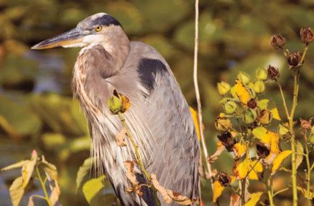 Close-up photo of a Great Blue Heron at Montezuma Wildlife Refuge